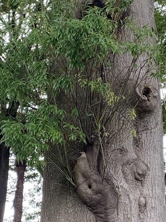 巨木の葉っぱ