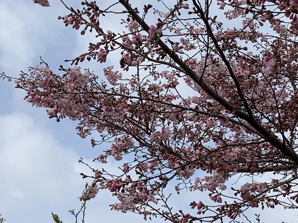 五分咲きの桜の枝