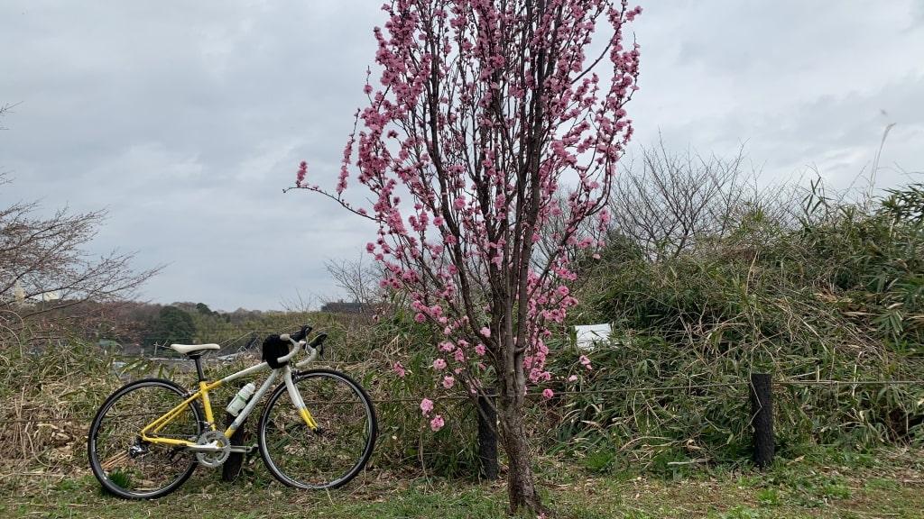 背の高い桜と自転車