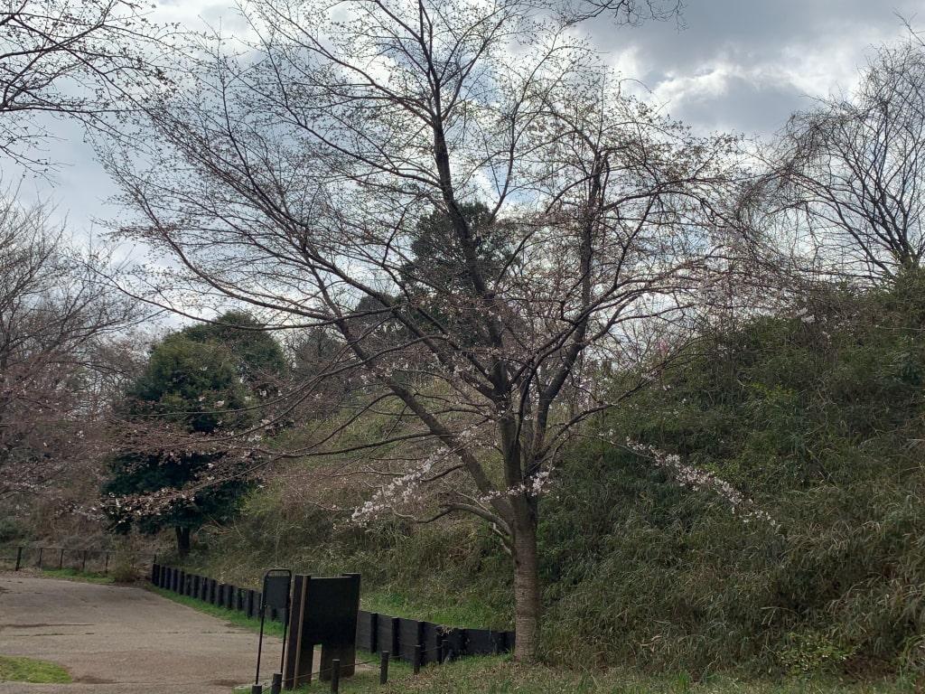 城址公園の山桜