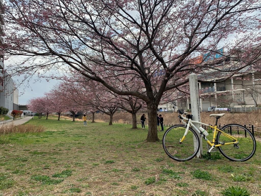 早渕川沿いの桜、五分咲き